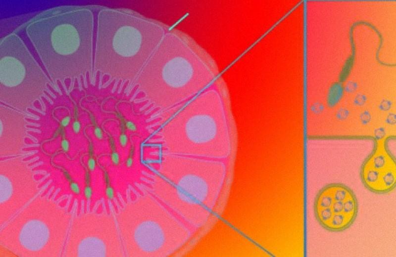Хронический стресс повлиял на сперму через внеклеточные везикулы