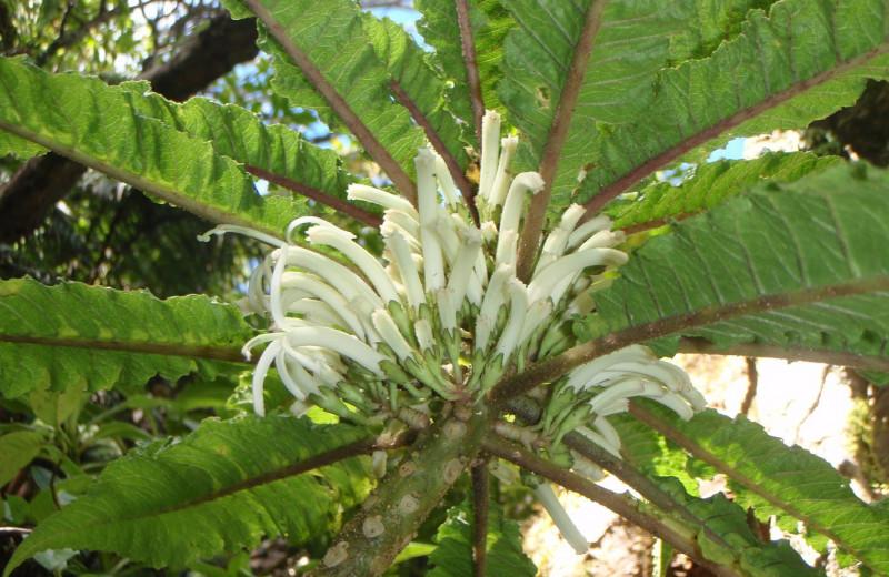 На Гавайях открыли новый вид растений. Настолько редкий, что пока найден лишь один экземпляр