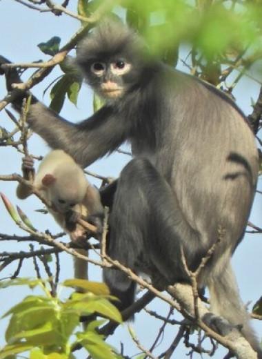 В Мьянме открыли новый вид обезьян. Он уже под угрозой исчезновения