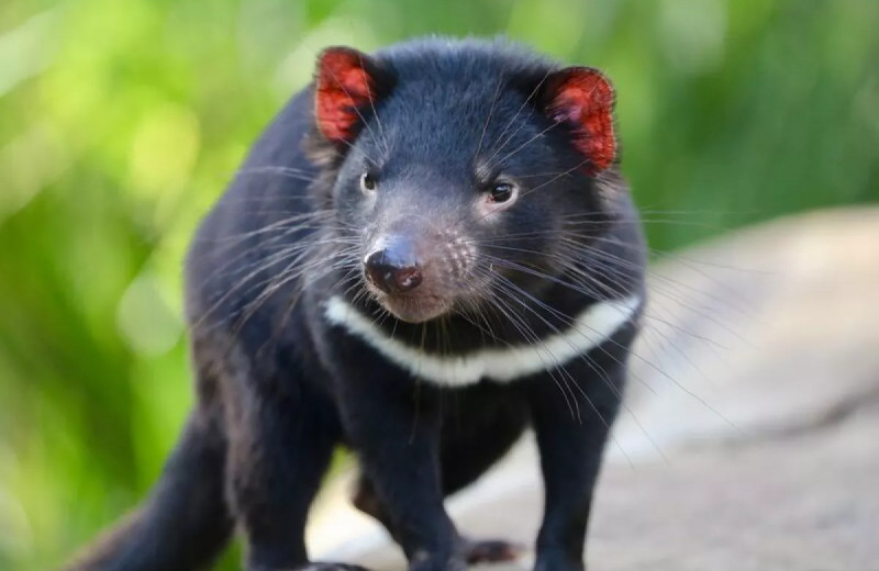 В дикой природе Австралии родились первые тасманские дьяволы за 3000 лет