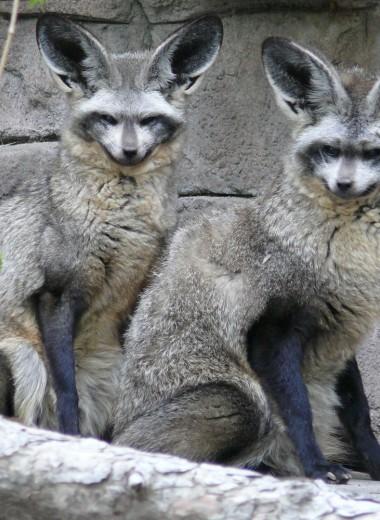 Большеухая лисица: это что за зверь?