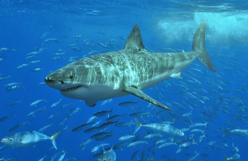 Как спит белая акула: видео