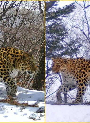 Пятнистая любовь: выжившая в ДТП самка леопарда встретила своего избранника