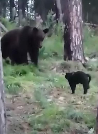 Битва титанов: домашний кот прогнал огромного медведя