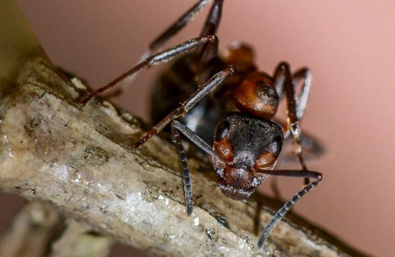 Правая и левая антенны обеспечили муравьям память разной длительности