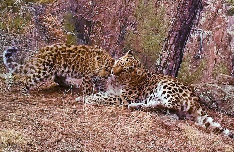 Очаровательные объятия редчайших леопардов попали на видео