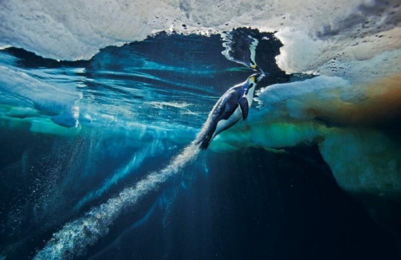«Реактивные» пингвины: почему эти морские птицы так быстро плавают