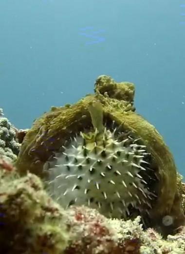 Осьминог пытается съесть иглобрюхую рыбу: опасный поединок