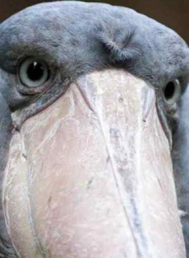 Китоглав – птица с одним из самых массивных клювов