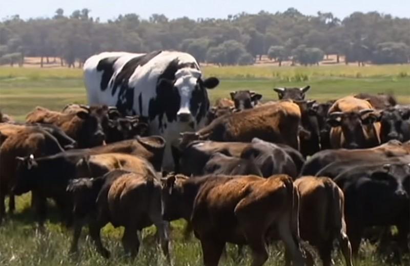 Трусики весом в 1400 кг: бык-рекодсмен со странной кличкой