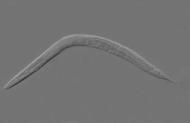 Тысячи червей запустили в космос для изучения потери мышечной массы