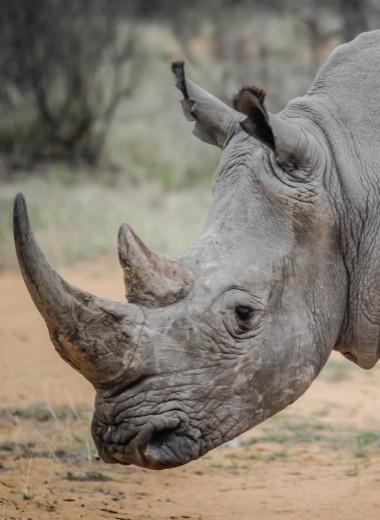 Охота на носорогов: как не стать жертвой белого чудовища