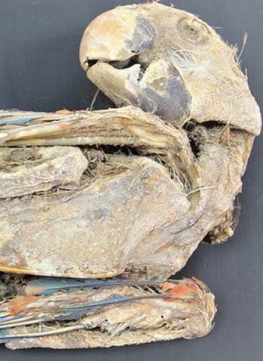 Древних индейцев Атакамы уличили в покупке и содержании попугаев из Амазонии