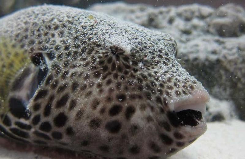Втягивание глаз и стягивание кожи вокруг них помогло рыбам фугу моргнуть