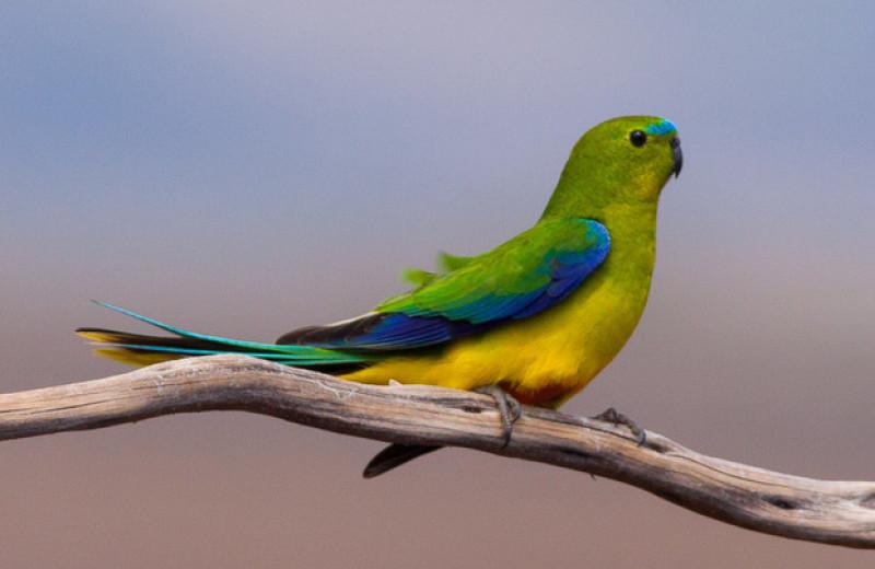 Орнитологи насчитали рекордное количество редчайших австралийских попугайчиков