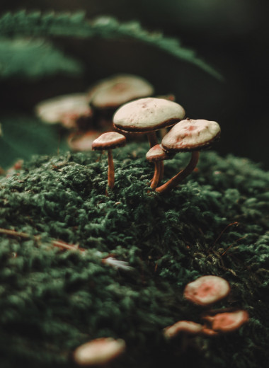 Предка выращиваемых термитами грибов заподозрили в предрасположенности к одомашниванию