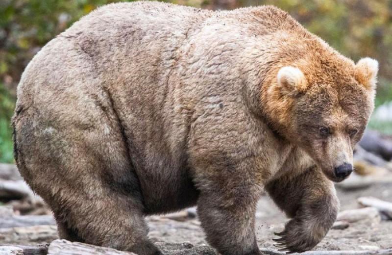 На Аляске короновали самую толстую медведицу
