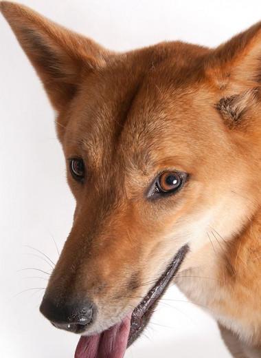 Ученым поможет собака динго