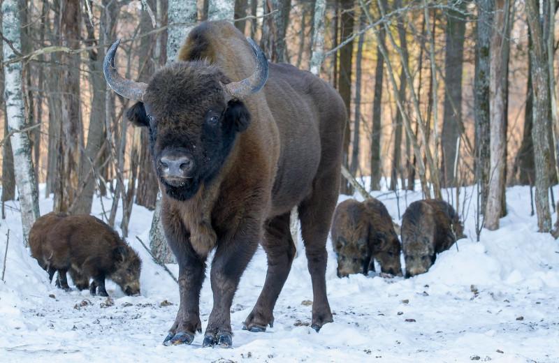 Зубры исключены из списка животных, находящихся под угрозой исчезновения
