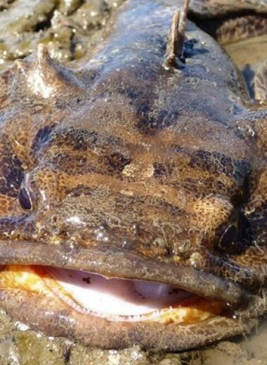Шум моторных лодок заглушил любовные песни рыб-жаб