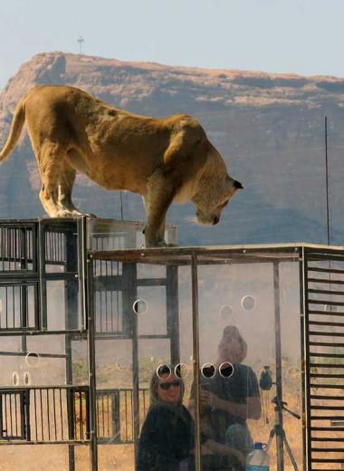 Зоопарк наоборот: львы смотрят на людей в клетках