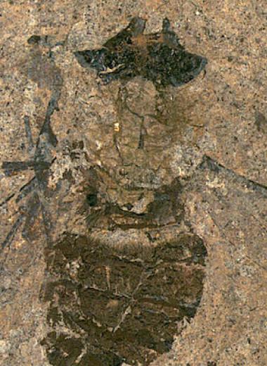 Палеонтологи реконструировали последнюю трапезу эоценовой мухи-длиннохоботницы