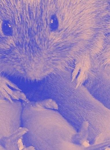 В прилежащем ядре мозга моногамных полевок нашли нейроны приближения к партнеру