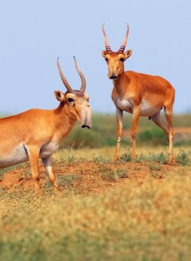 Сайгаков с воздуха считают: мониторинг краснокнижных антилоп