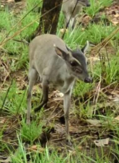 Редчайшую антилопу впервые сфотографировали в дикой природе