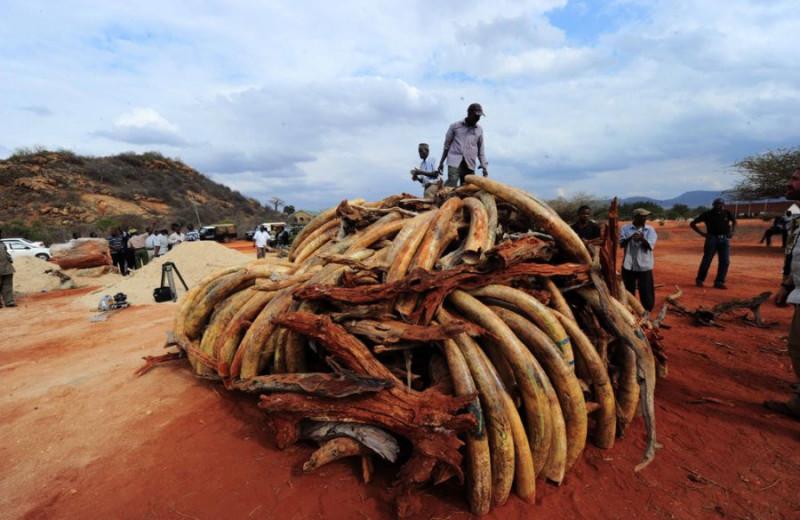 Куда исчезают бивни африканских слонов?