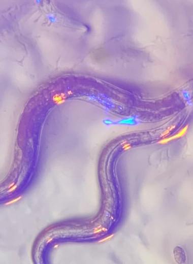 Безглазые черви смогли различить цвета