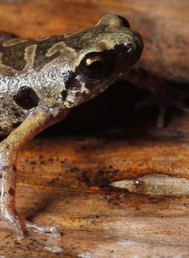 На юге Таиланда открыли новый вид – «камуфлированную» лягушку