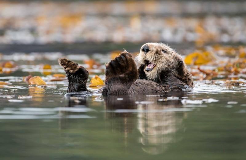Каланы повысят продуктивность морских экосистем и помогут экономике Канады
