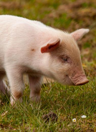 Отблагодарить по-свински