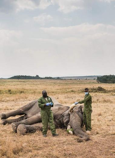 В Кении спасли слона, раненного копьем: фото
