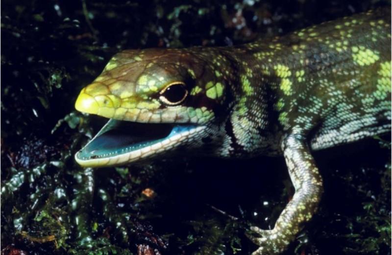 Ящерица с зеленой кровью: в чем ее секрет?