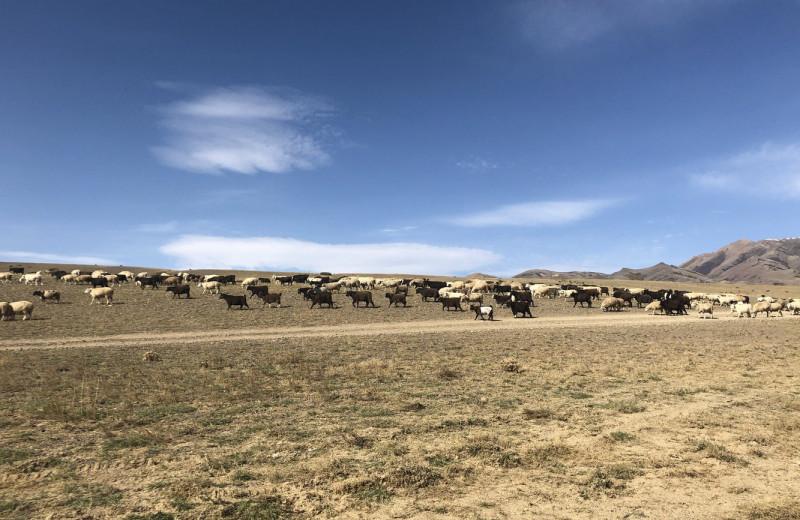 Как давно древние жители Алтая одомашнили овец?