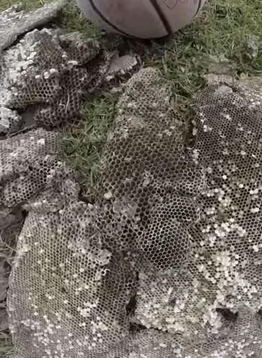 Гигантское гнездо шершней размером с холодильник: видео