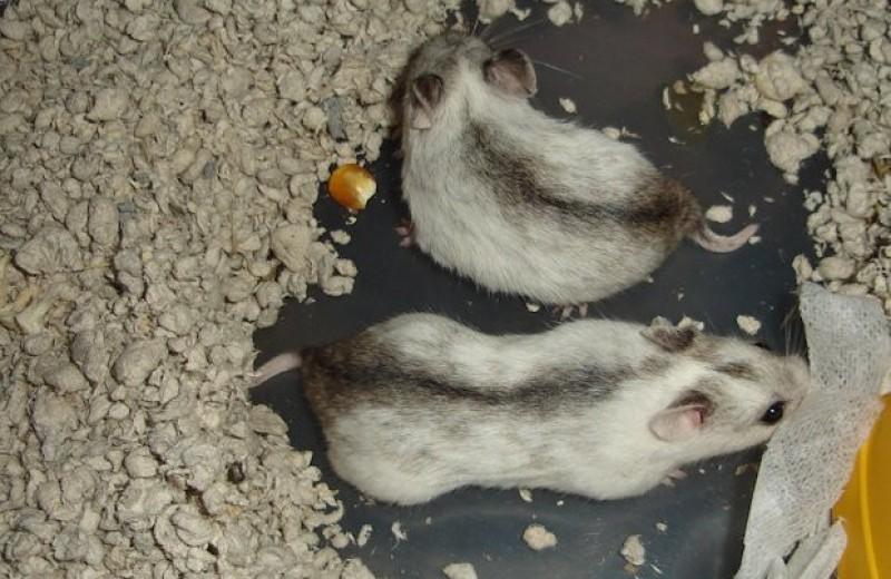 Аномальное тепло помешало мышам и хомячкам вырастить детей