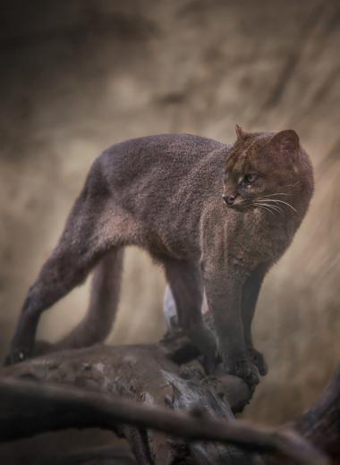 Неизвестные дикие кошки: ягуарунди