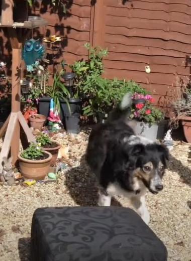 Слепой пес мастерски обходит любые препятствия. Его хозяйка почти год считала собаку здоровой
