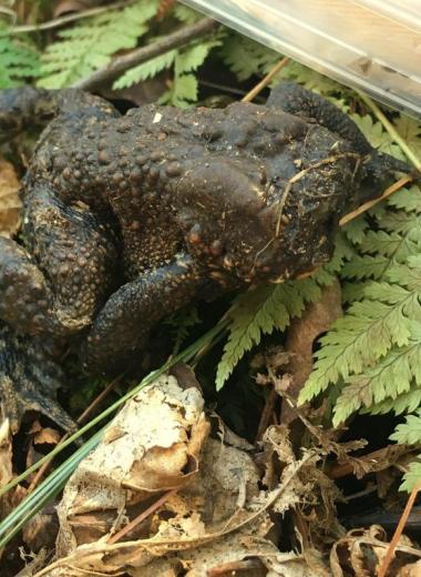 Жаба лишилась головы, но продолжает жить: загадка из лесов Коннектикута