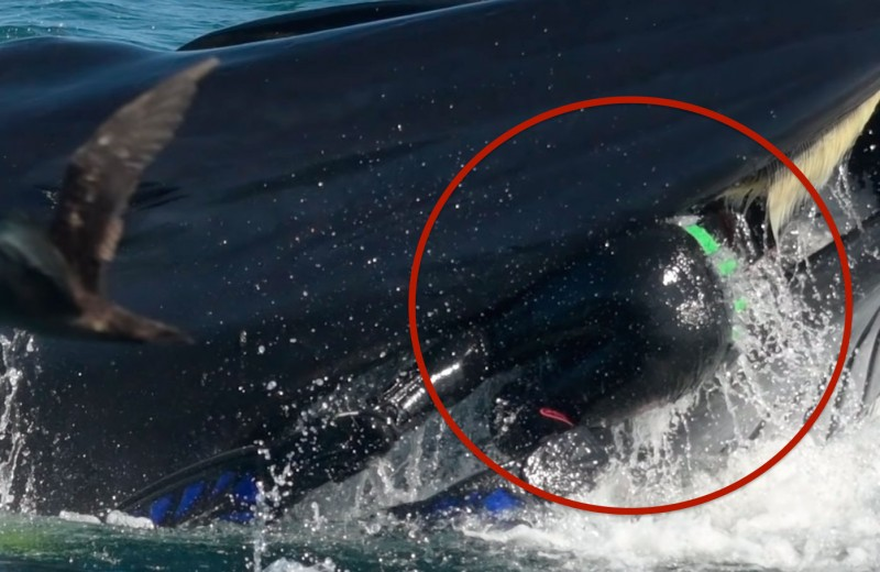 Дайвер в пасти кита: видео