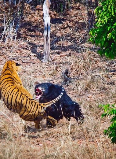 Медведица-губач спасает медвежонка от тигра: видео
