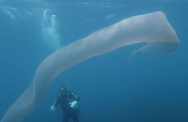 Дайверы встретили загадочного подводного обитателя: видео