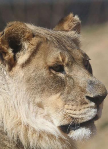 Почему у львиц вырастает грива?