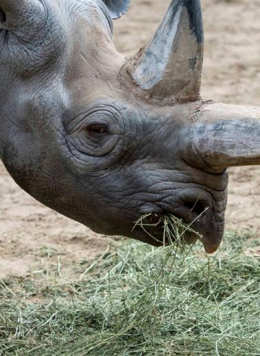 В берлинском зоопарке усыпили старейшую в мире самку черного носорога