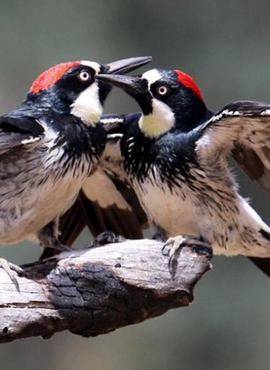 Полигамные дятлы оказались более плодовитыми, чем их «верные» сородичи