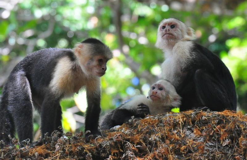 Центральноамериканских капуцинов застали за каннибализмом