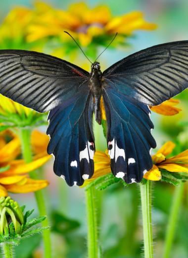 Эффект бабочки: как чешуекрылым насекомым удается оставаться для нас таинственными незнакомцами